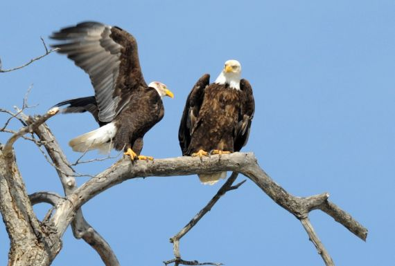 Eagles, as seen on the Scenic Float Trip